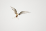 Arctic Tern (Sterna Paradisaea) in Flight. Shetland, Scotland, August Photographic Print by Peter Cairns