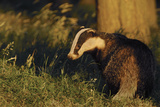 Badger (Meles Meles) Sub-Adult Beside Tree, Derbyshire, UK Photographic Print by Andrew Parkinson