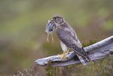 Merlin Female on Perch with Meadow Pipit Chick Prey for its Offspring. Sutherland, Scotland, June Photographic Print by Rob Jordan