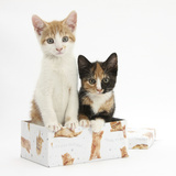 Ginger-And-White and Tortoiseshell Kittens in a Birthday Box Photographic Print by Mark Taylor