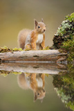 Red Squirrel (Sciurus Vulgaris) at Woodland Pool, Scotland, UK, November Photographic Print by Mark Hamblin