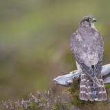 Merlin (Falco Columbarius) Female on Perch with Meadow Pipit Chick Prey, Sutherland, Scotland, UK Photographic Print by Rob Jordan
