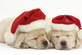 Sleeping Yellow Labrador Retriever Puppies, 8 Weeks, Wearing Father Christmas Hats Fotografisk tryk af Mark Taylor