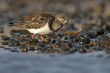 Ruddy Turnstone (Arenaria Interpres) Feeding on Shingle Beach, Norfolk, England, UK, November Photographic Print by Chris Gomersall