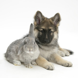 German Shepherd Dog (Alsatian) Bitch Puppy, Echo, with Grey Windmill-Eared Rabbit Photographic Print by Mark Taylor