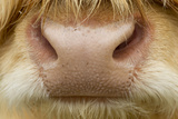 Close-Up of the Nose of a Highland Cow (Bos Taurus) Isle of Lewis, Outer Hebrides, Scotland, UK Photographic Print by Peter Cairns