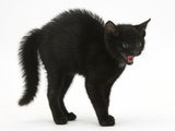 Black Kitten in Defensive Witch's Cat Display with Back Arched and Hair Standing Up Photographic Print by Mark Taylor