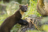 Pine Marten Juvenile in Woodland, Beinn Eighe National Nature Reserve, Wester Ross, Scotland, July Photographic Print by Mark Hamblin