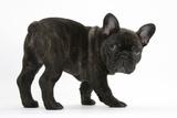 Dark Brindle French Bulldog Pup, Bacchus, 9 Weeks Old Fotografisk tryk af Mark Taylor