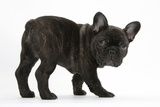 Dark Brindle French Bulldog Pup, Bacchus, 9 Weeks Old Photographic Print by Mark Taylor