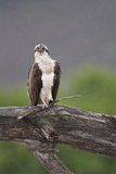 Osprey (Pandion Haliaetus) on Branch, Holding Stick, Cairngorms Np, Scotland, UK, July Photographie par Peter Cairns