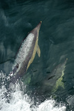 Common Dolphins (Delphinus Delphis) Bow-Riding, Near South Uist, Outer Hebrides, Scotland, UK Photographic Print by Chris Gomersall