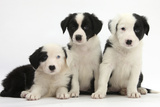 Three Black-And-White Border Collie Puppies, 6 Weeks Photographic Print by Mark Taylor