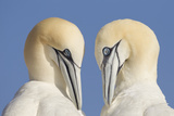 Pair of Gannets (Morus Bassanus) Mutual Preening, Bass Rock, Firth of Forth, Scotland, UK, June Photographic Print by Peter Cairns