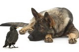 German Shepherd Dog Watching a Young Jackdaw Photographic Print by Mark Taylor