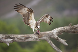 Osprey (Pandion Haliaetus) Eating Fish Prey, Cairngorms National Park, Scotland, UK, July Photographic Print by Peter Cairns