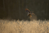 Marsh Harrier (Circus Aeruginosus) Female Landing in Reedbeds, Backlit, Norfolk, UK, April Photographic Print by Andrew Parkinson