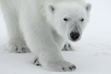 Polar Bear (Ursus Maritimus) Portrait, Svalbard, Norway, July 2008 Photographic Print by de la