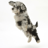 Fluffy Black and Grey Daxie Doodle (Daschund Poodle Cross) Puppy, Pebbles, Taking a Flying Leap Photographic Print by Mark Taylor