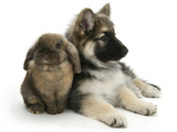 German Shepherd Dog Bitch Puppy, Echo, with Lionhead Rabbit Photographic Print by Mark Taylor