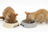 Two Ginger Kittens Eating from Plastic Food Bowls Photographic Print by Mark Taylor