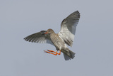 Redshank (Tringa Totanus) in Flight, Outer Hebrides, Scotland, UK, June Photographic Print by Peter Cairns