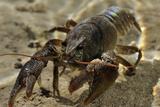 White Clawed Crayfish (Austropotamobius Pallipes) Underwater on Riverbed, River Leith, Cumbria, UK Reprodukcja zdjęcia autor Linda Pitkin