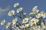 Ox-Eye Daisies (Leucanthemum Vulgare) at Rspb's Hope Farm, Cambridgeshire, UK, May Photographic Print by Chris Gomersall