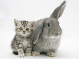 Silver Tabby Kitten with Grey Windmill-Eared Rabbit Photographic Print by Mark Taylor