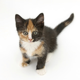 Tortoiseshell Kitten, Sitting and Looking Up Photographic Print by Mark Taylor