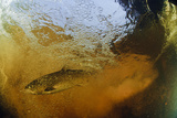 Brown Trout (Salmo Trutta) in Turbulent Water at a Weir, River Ettick, Selkirkshire, Scotland, UK Photographic Print by Linda Pitkin