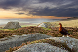 Red Grouse (Lagopus Lagopus Scoticus) on Heather Moorland, Peak District Np, UK, September Photographie par Ben Hall