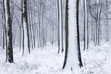 Snow-Covered Beech (Fagus Sylvatica) Woodland. West Woods, Compton Abbas, Dorset, England, UK Photographic Print by Guy Edwardes