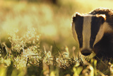 Badger (Meles Meles) Sub-Adult Backlit in Evening Light, Derbyshire, UK Photographic Print by Andrew Parkinson