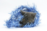 Grey Kitten with Christmas Decorations, Blue Tinsel Photographic Print by Mark Taylor