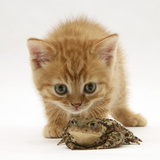 Ginger Tabby Kitten Looking at Common European Toad (Bufo Bufo) Photographic Print by Mark Taylor