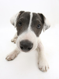 Blue-And-White Jack Russell Terrier Puppy, Scamp Photographic Print by Mark Taylor