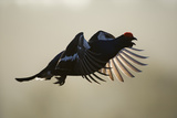 Black Grouse (Tetrao Tertrix) Male Calling in Flight, Bergslagen, Sweden, April 2009 Photographic Print by E. Haarberg