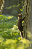 Pine Marten Juvenile, Climbing Pine Tree in Woodland, Beinn Eighe Nnr, Wester Ross, Scotland, UK Photographic Print by Mark Hamblin