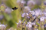 Buff-Tailed Bumble Bee (Bombus Terrestris) Worker Alighting on a Scorpionweed Flower, UK, May Photographic Print by Chris Gomersall