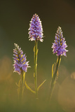 Common-Spotted Orchid (Dactylorhiza Fuchsii), Hardington Moor Nnr, Somerset, UK Photographic Print by Guy Edwardes