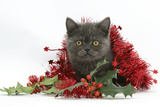 Grey Kitten with Christmas Tinsel and Holly Berries Photographic Print by Mark Taylor