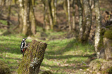Great Spotted Woodpecker (Dendrocopos Major) in Woodland Setting. Scotland, UK, February Photographie par Mark Hamblin