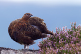 Red Grouse (Lagopus Lagopus Scoticus) Standing on Boulder with Heather, Peak District Np, UK Photographie par Ben Hall