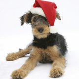 Airdale Terrier Bitch Puppy, Molly, 3 Month, Wearing a Father Christmas Hat Photographic Print by Mark Taylor