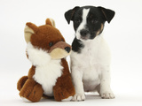 Jack Russell Terrier Puppy, Ruby, 9 Weeks, with Soft Toy Fox Photographic Print by Mark Taylor