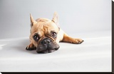 Sad Frenchie Stretched Canvas Print by Susan Sabo
