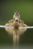 A Sub-Adult Female Mallard (Anas Platyrhynchos) Swimming on a Still Lake, Derbyshire, England Photographic Print by Andrew Parkinson