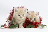 Two Ginger Kittens with Red Christmas Tinsel and Holly Berries Photographic Print by Mark Taylor