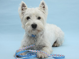 West Highland White Terrier with Her Lead, Against a Blue Background Photographic Print by Mark Taylor
